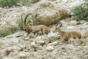 В Судане разрешили охоту на редких горных козлов