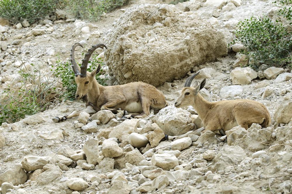 В Судане разрешили охоту на редких горных козлов.Вокруг Света. Украина