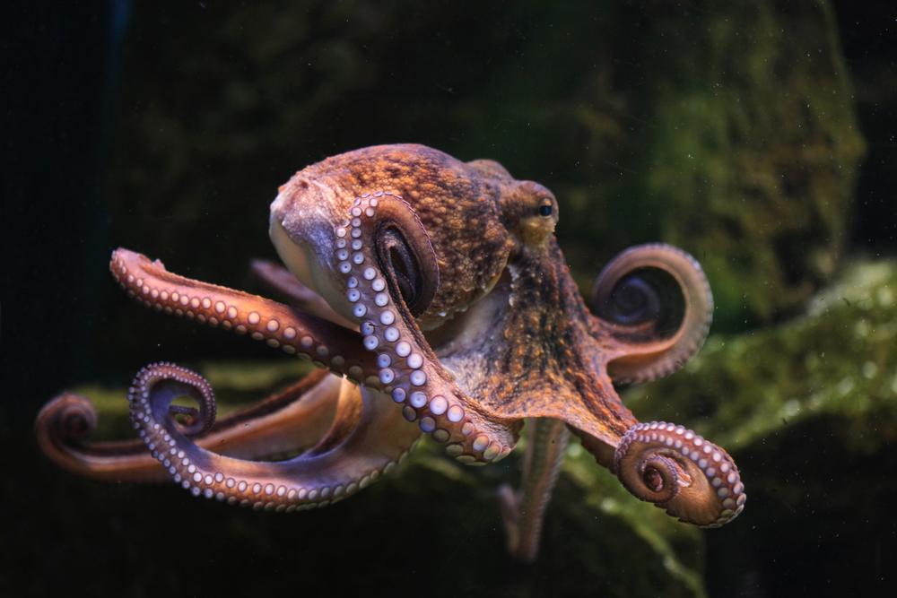 Головоногие моллюски на 30 миллионов лет старше, чем считалось