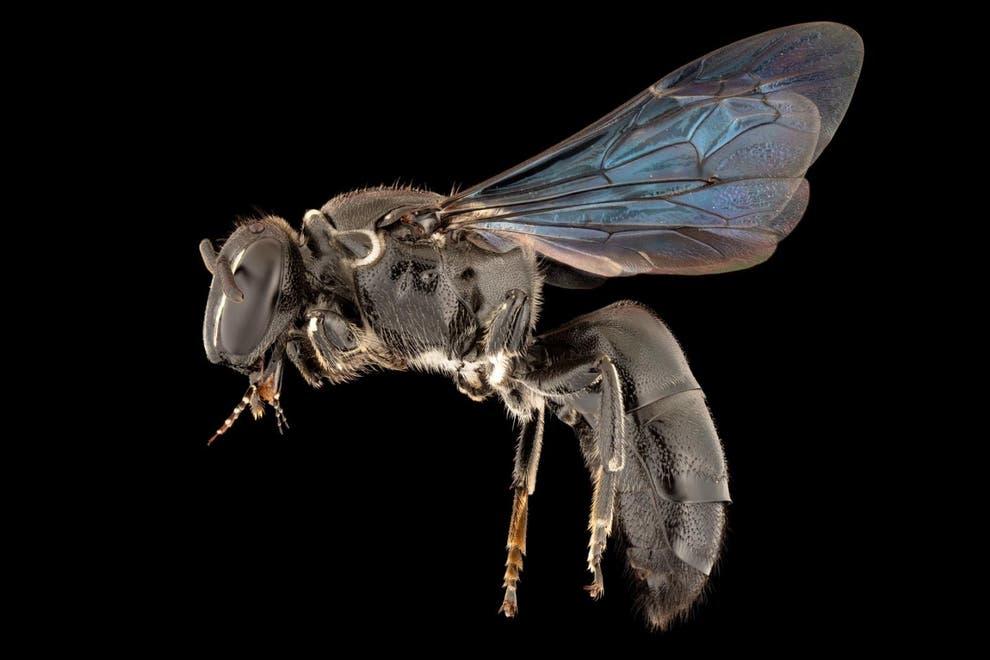 В Австралии впервые за 100 лет заметили пчелу, считавшуюся вымершей.Вокруг Света. Украина