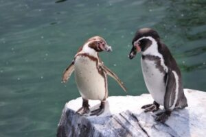 В Норвегии вакцинируют пингвинов