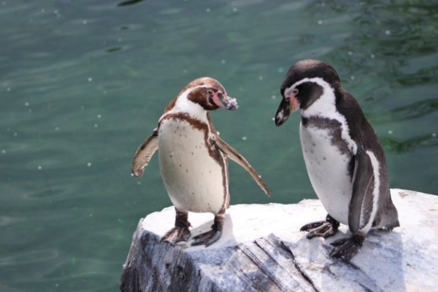 В Норвегии вакцинируют пингвинов.Вокруг Света. Украина