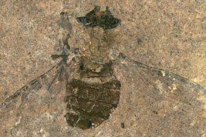 Палеонтологи узнали, чем пообедала муха возрастом 47 миллионов лет