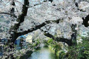 В Японии расцвела сакура: впервые так рано за 1200 лет