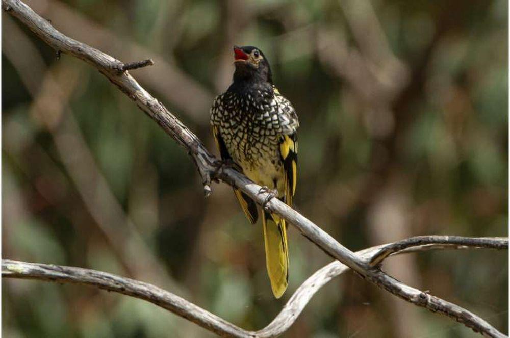 В Австралии биологи учат петь редких птиц, чтобы те не утратили свою