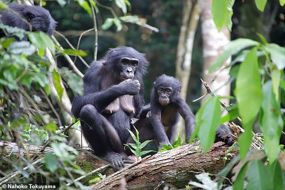 Как люди: самки бонобо усыновляют сирот даже из других