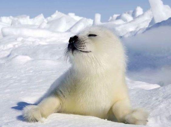 В Квебеке сезон наблюдения за тюленями сорван из-за дефицита льда.Вокруг Света. Украина