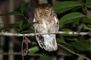 Орнитологи открыли два новых вида визжащих сов