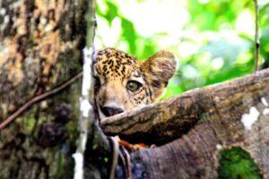 Ягуары Амазонки переселились на верхушки деревьев