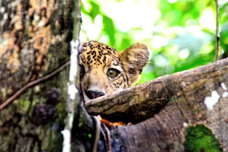 Ягуары Амазонки переселились на верхушки деревьев.Вокруг Света. Украина