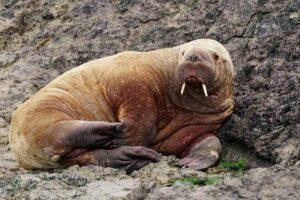В Уэльсе впервые за историю наблюдений увидели моржа