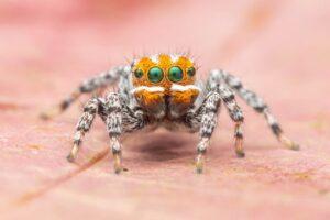 В Австралии открыли новый вид танцующих пауков-павлинов