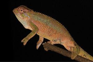 В Эфиопии открыли новый вид хамелеона с колючим гребешком