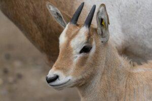 В английском зоопарке родился детеныш антилопы, которая вымерла в дикой природе