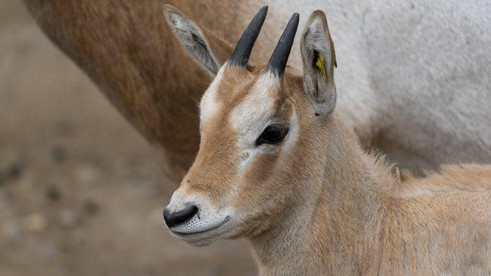В английском зоопарке родился детеныш антилопы, которая вымерла в дикой природе.Вокруг Света. Украина