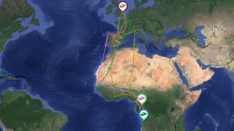 В Африку – и обратно: кукушка из Англии за пять лет десять раз пролетела над Сахарой, намотав 80 тысяч километров