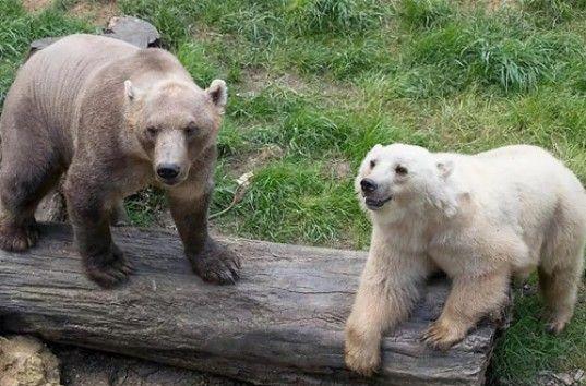 В Канадской Арктике выросла популяция пизли: гибрида белого медведя и гризли.Вокруг Света. Украина