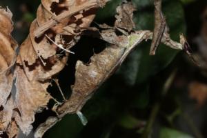 Соблазняя партнера, самка амазонского богомола надувает железу-рогатку
