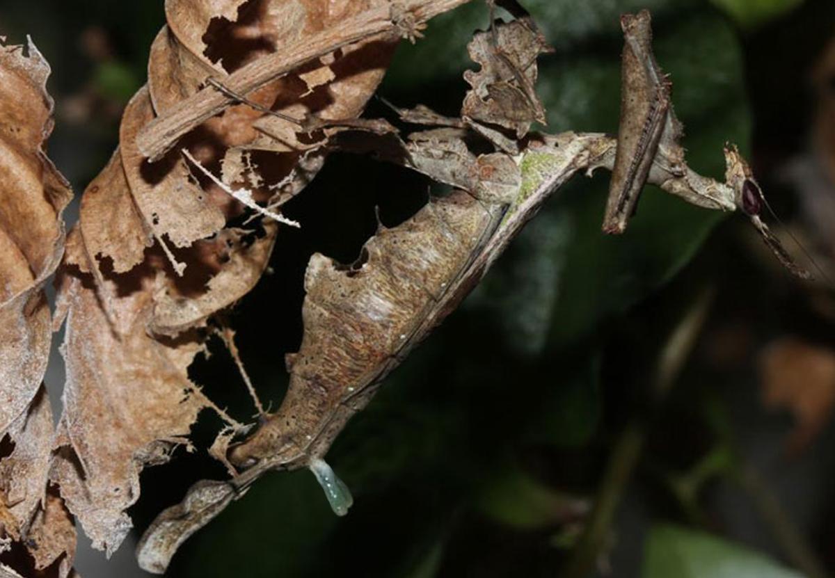 Соблазняя партнера, самка амазонского богомола надувает железу-рогатку.Вокруг Света. Украина