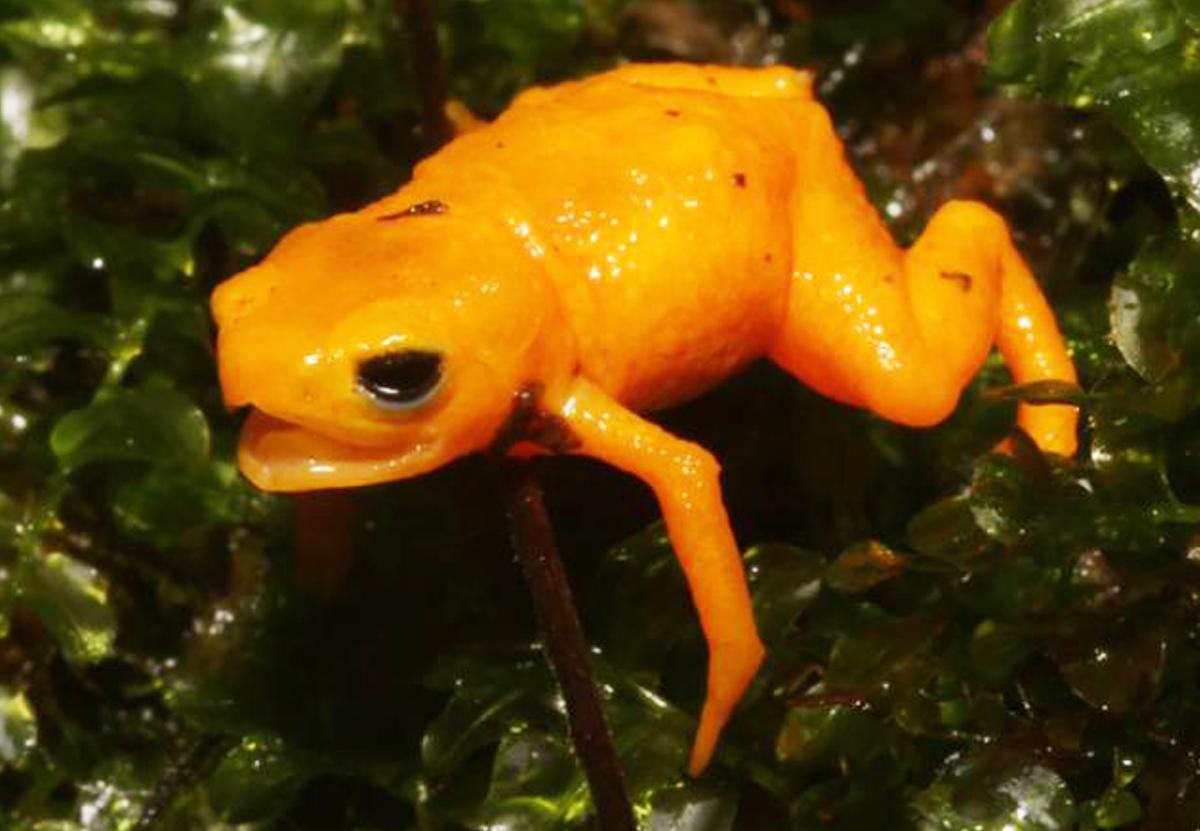 Милые, но ядовитые: в Бразилии открыли новый вид тыквенных жаб