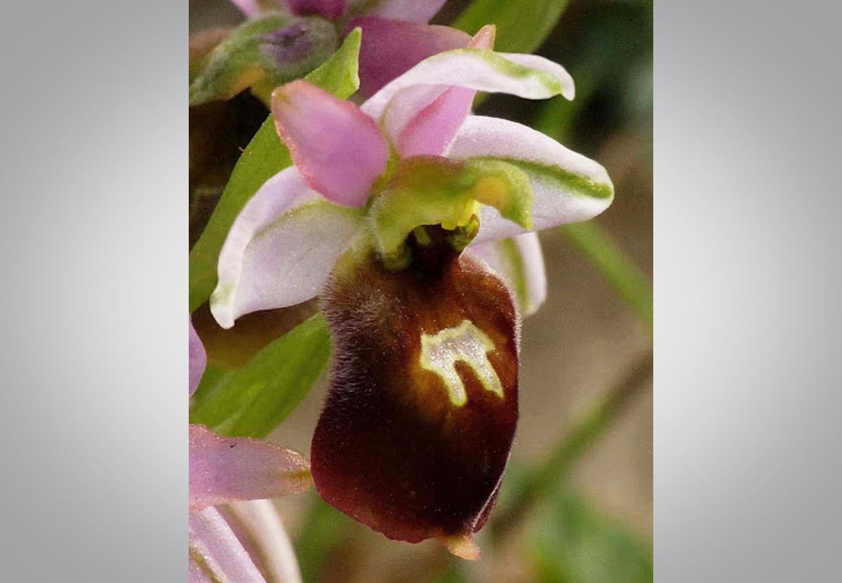 В Окаменелом лесу Лесбоса расцвели дикие орхидеи