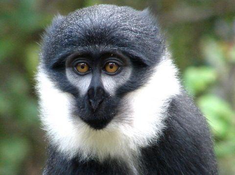 В Конго фотоловушки запечатлели редких мартышек дриас