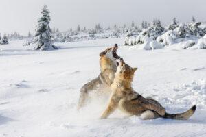 Волки пережили ледниковый период, вовремя сменив рацион