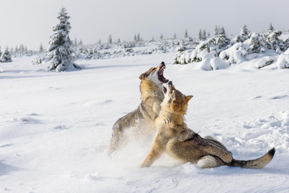 Волки пережили ледниковый период, вовремя сменив рацион.Вокруг Света. Украина