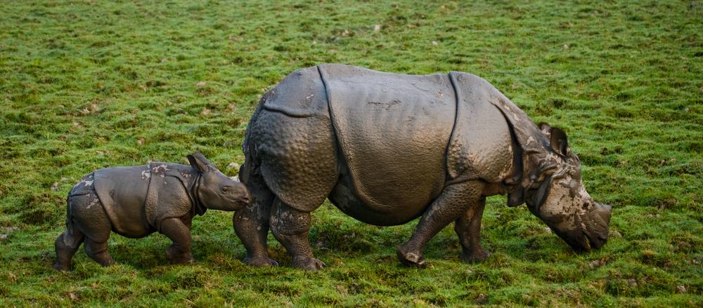 В Непале выросла популяция носорогов.Вокруг Света. Украина