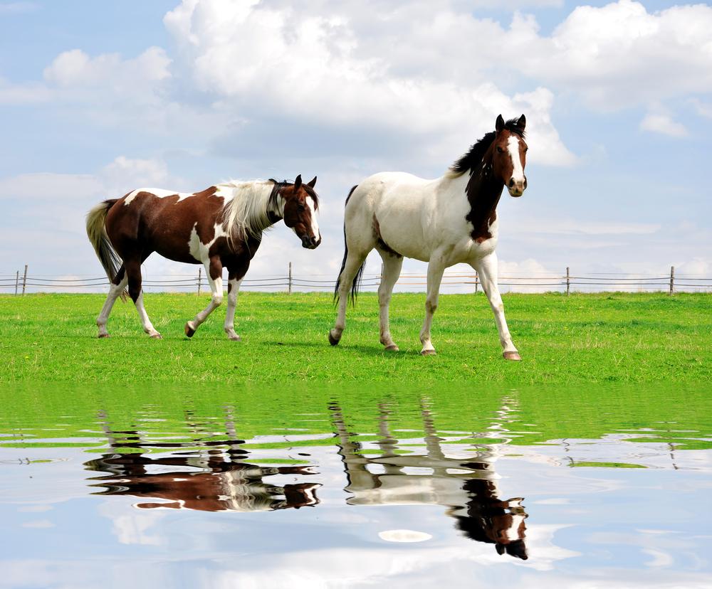 Лошади узнают себя в зеркале