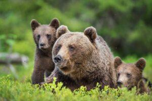 В Пиренеях родилось рекордное количество бурых медведей. Овцеводы в шоке