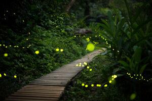 Светлячки используют музыкальный камуфляж