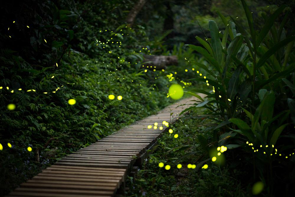 Светлячки используют музыкальный камуфляж.Вокруг Света. Украина