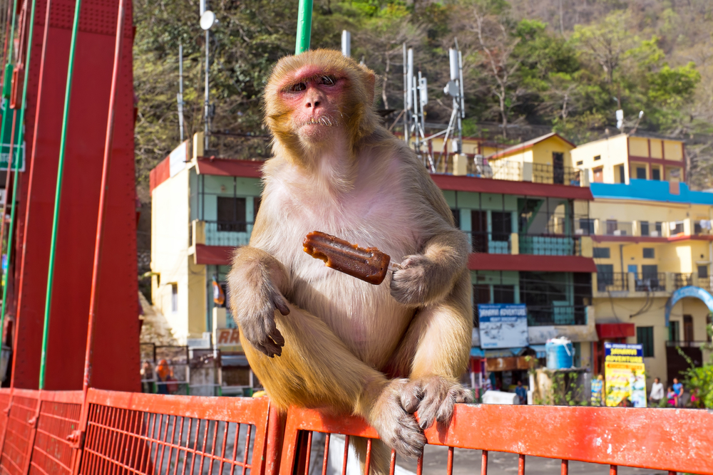 В Индии обезьяны помогали грабить прохожих
