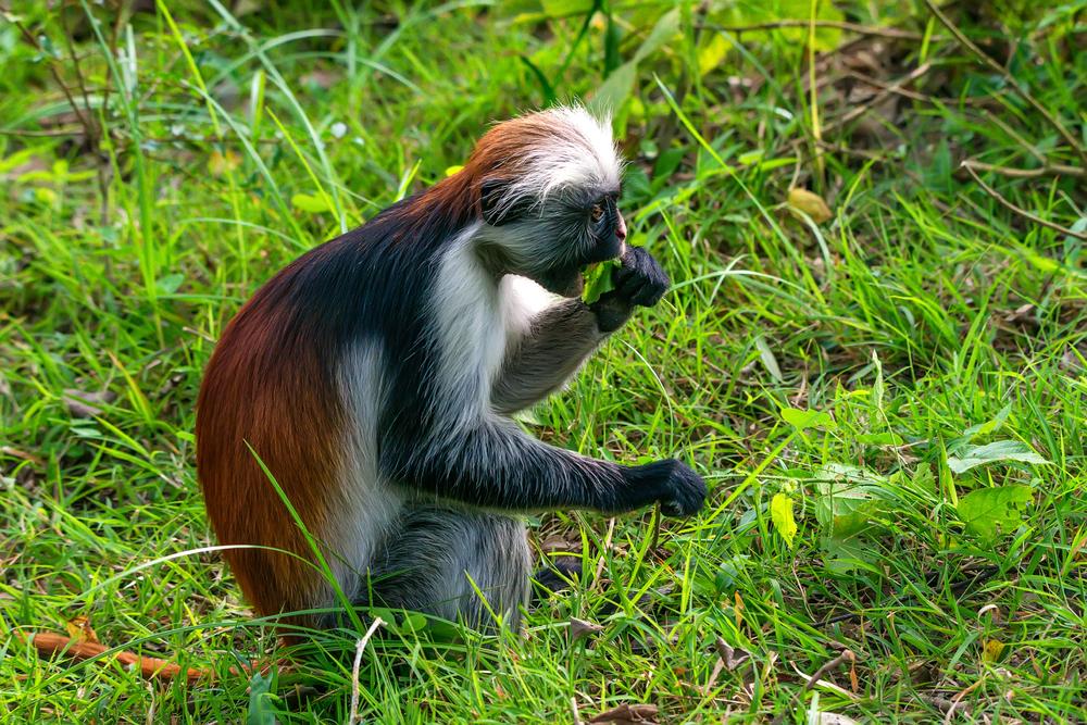 На Занзибаре «лежачие полицейские» спасают редких обезьян