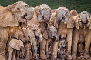 В Африке стадо слонов растоптало браконьера