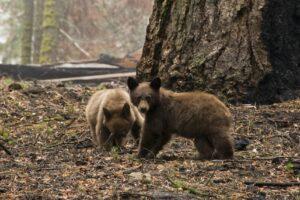 В США больные медведи ведут себя как собаки