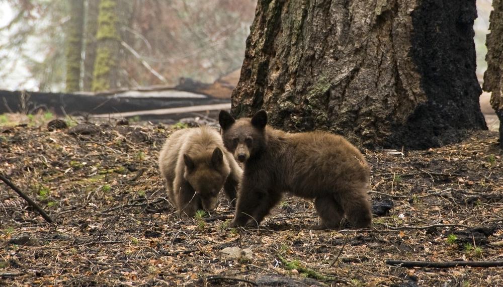 В США больные медведи ведут себя как собаки.Вокруг Света. Украина
