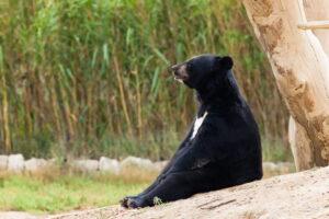 Гималайские медведи вернулись в Южную Корею