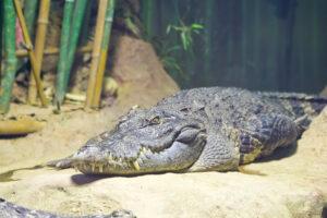 В Китае онлайн-магазин прислал покупателю крокодила вместо рыбки