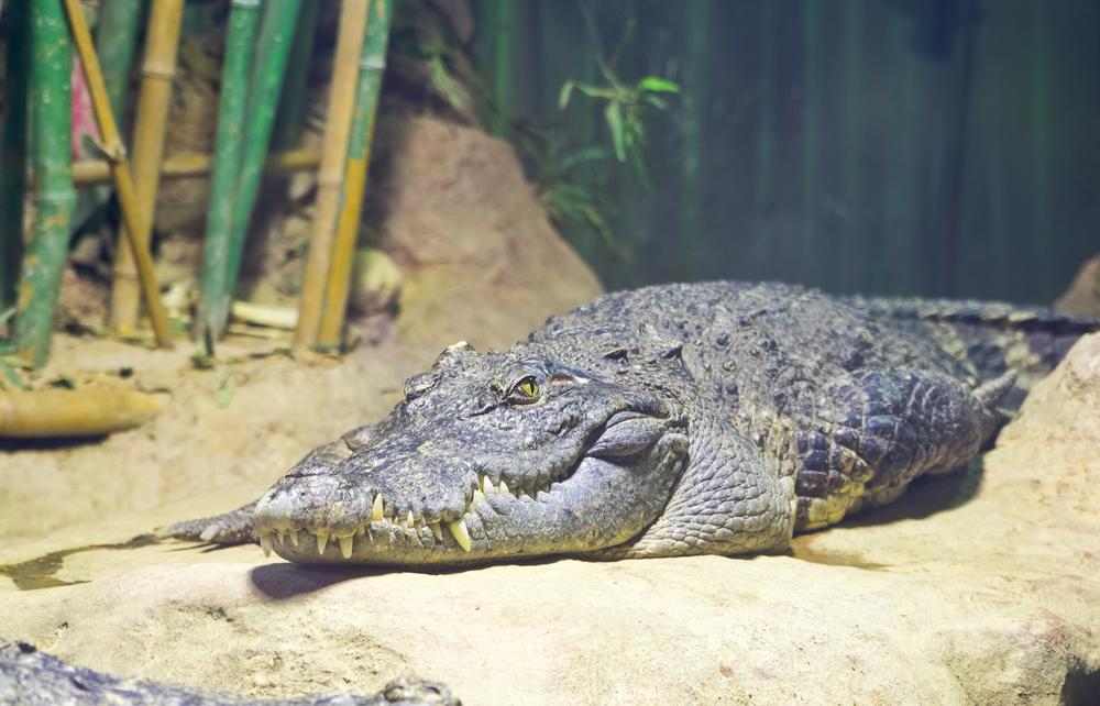 В Китае онлайн-магазин прислал покупателю крокодила вместо рыбки.Вокруг Света. Украина