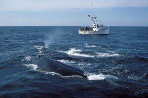 Североатлантические гладкие киты побили рекорд рождаемости