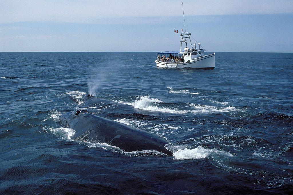 Североатлантические гладкие киты побили рекорд рождаемости.Вокруг Света. Украина