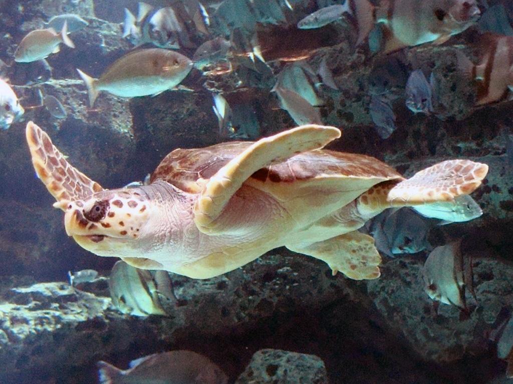 Сезонные теплые течения позволяют морским черепахам преодолевать холодные воды в ходе миграции длиной в 9000 миль