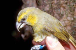 Орнитологи эвакуируют с Гавайев вымирающих птиц