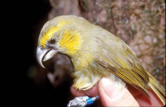 Орнитологи эвакуируют с Гавайев вымирающих птиц.Вокруг Света. Украина