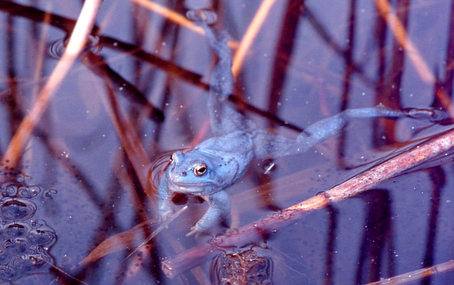 Как два английских подростка заставили лягушку посинеть и почему это обрадовало зоозащитников