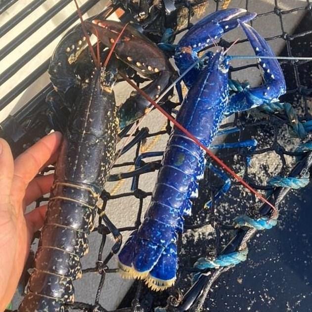 Британский рыбак поймал синего лобстера