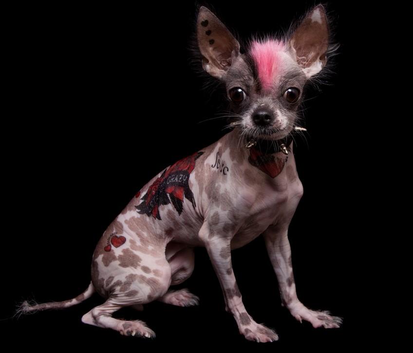 В Рио-де-Жанейро запретили делать животным тату и пирсинг