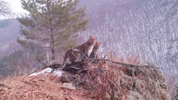 В видеоловушку попала семья редчайшего в мире леопарда